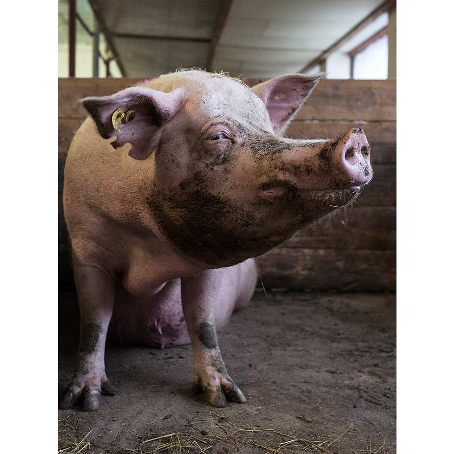 q-pigs-06.jpg