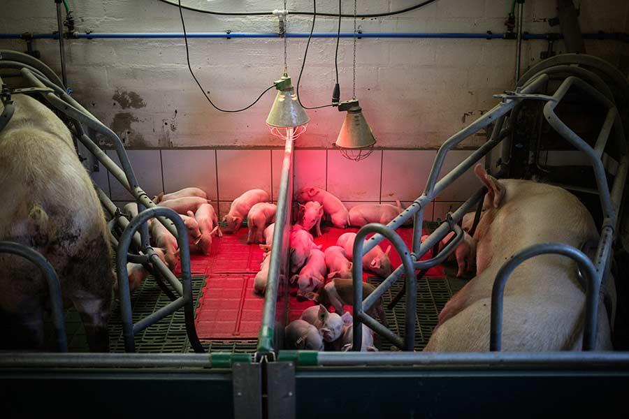 q-pigs-19.jpg