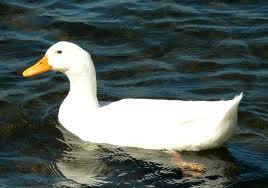 Duck2