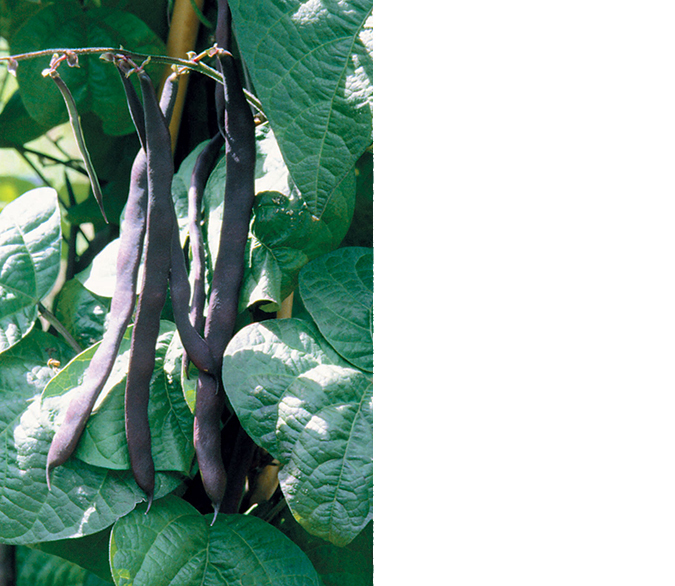 'Purple Poded Pole' bean