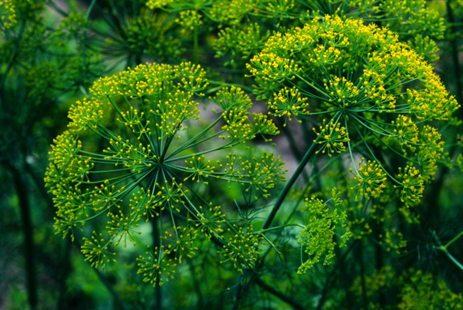 'Grandma Einck's' dill (Anethum graveolens)