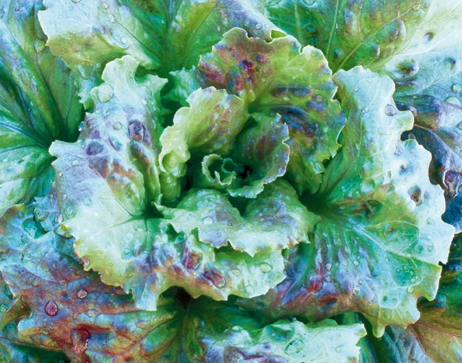 'Grandpa Admire's' lettuce