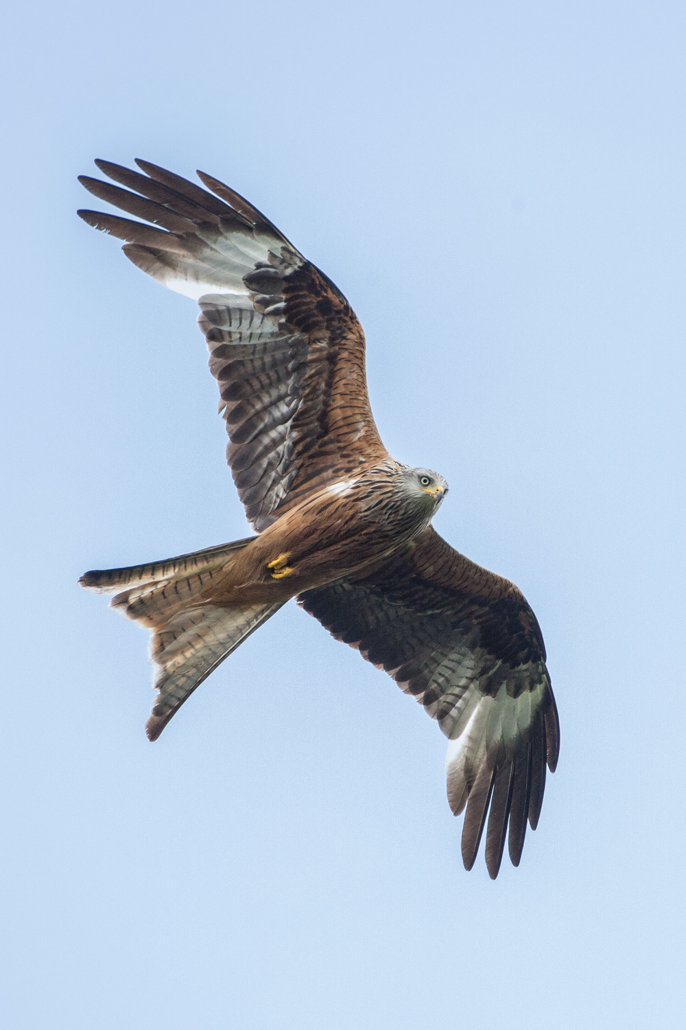 A photo I took in June this year of a Red Kite at Gigrin Farm in Wales