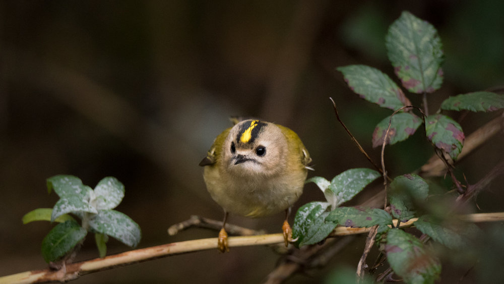 The goldcrest is the smallest bird in the UK, at just a few centimetres long and a mere six grams in weight!