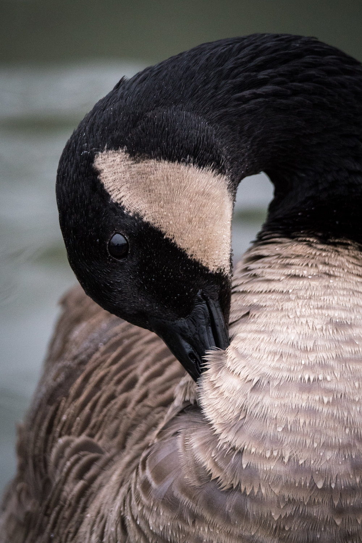 A Canada Goose having a preen