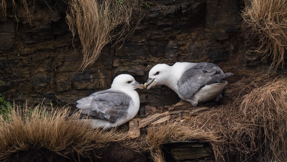 A pair of courting fulmars from my trip to Orkney in March. I have lots of fulmar pictures, but this one made the cut because of the sense of tenderness between the two birds.