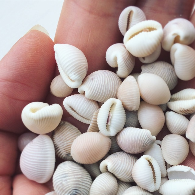 Groatie Buckie Cowrie Shells Caithness Beach