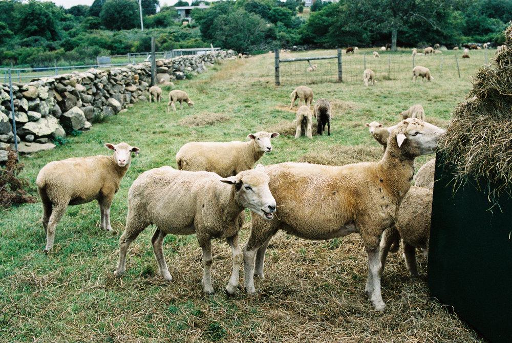 Allen Farm - 13 Generation Sheep Farm, Martha's Vineyard