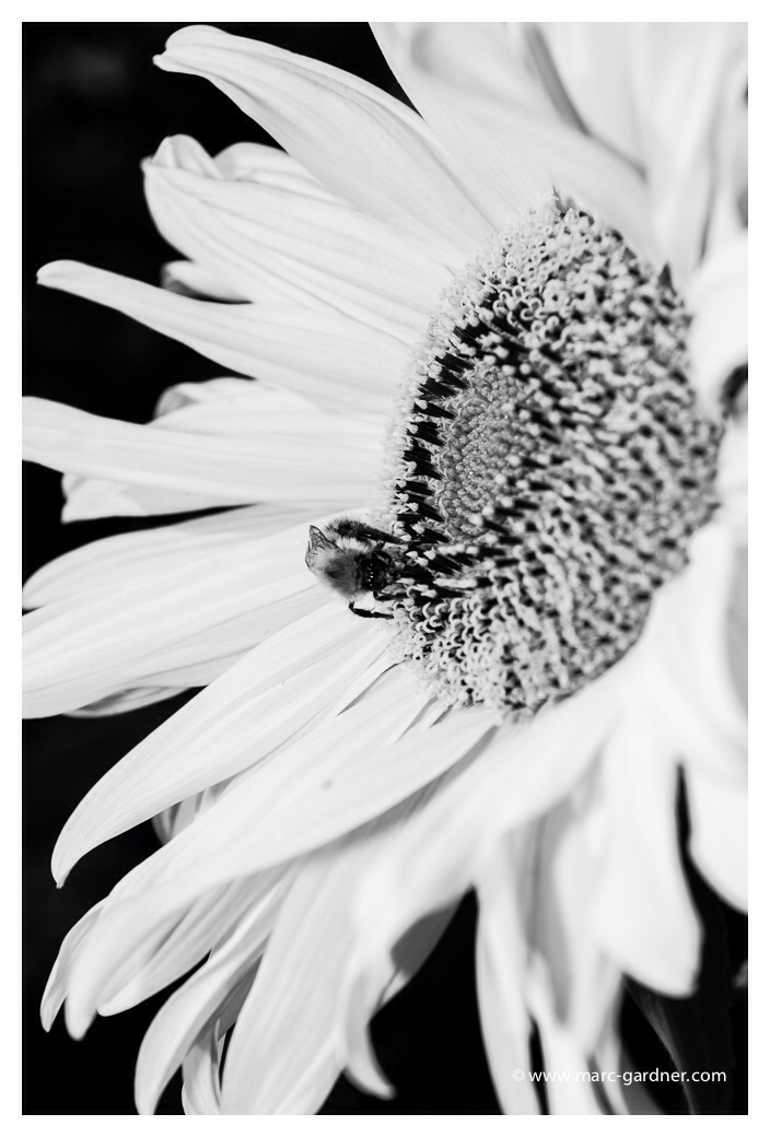 Don't sunflowers look cool in B&W??