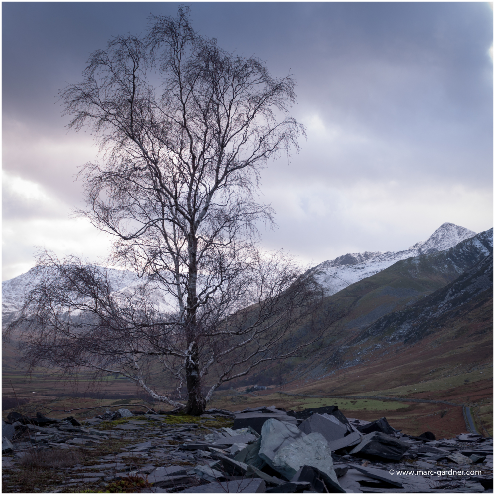 This lone tree growing through the tons of slate stood proud against all the elements.