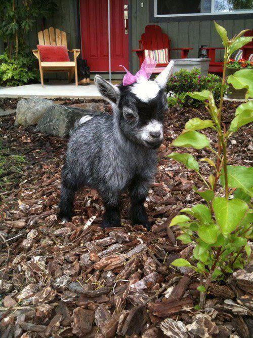 A Sassy Goat!