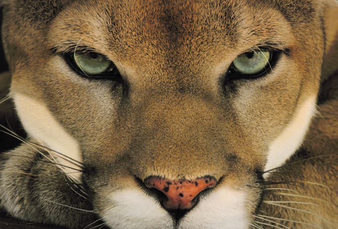 Frans-Lanting-Cougar-Face.jpg