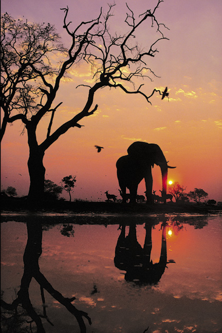 African Elephant in Chobe National Park, Botswana.jpg