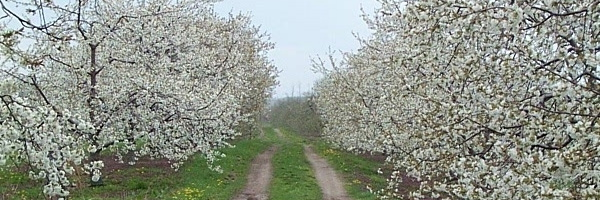Sweet Cherries in Bloom 045.jpg