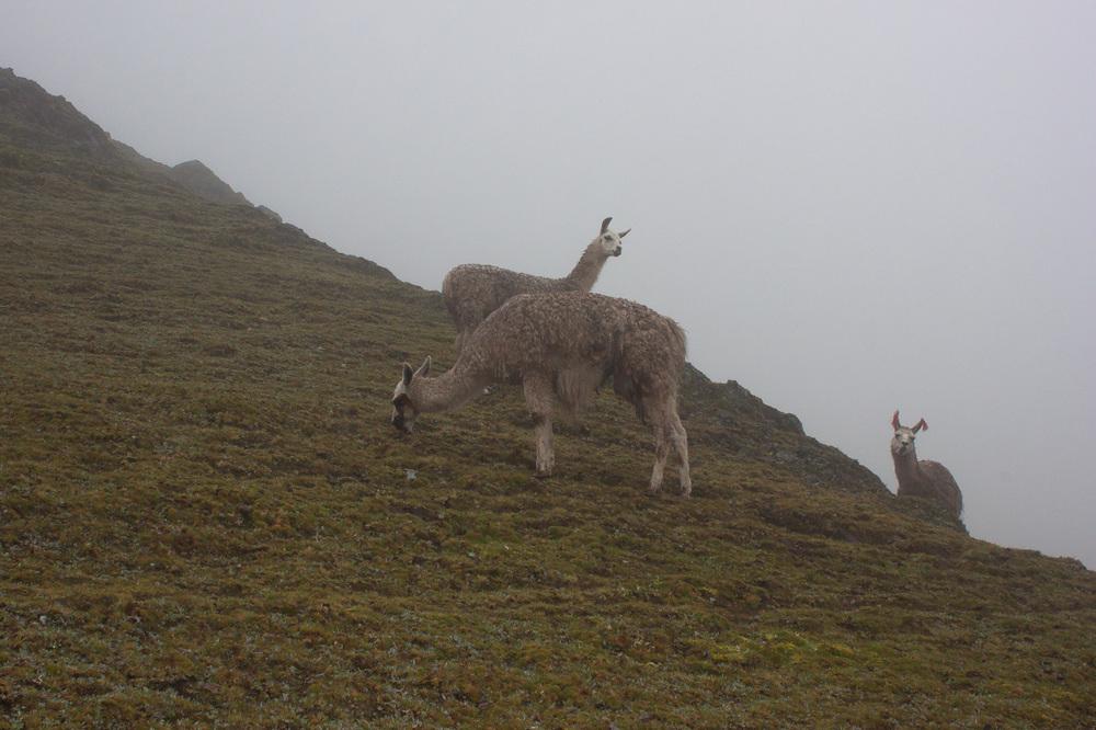 20140210_Peru_166_llama_hill.jpg