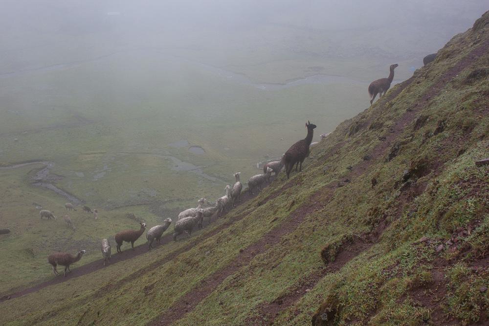 20140210_Peru_165_llamas.jpg