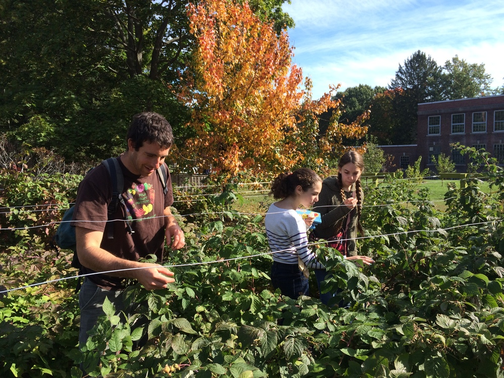 teens helping to trellis our prolific raspberry patch with berries accessible to anyone walking down the street