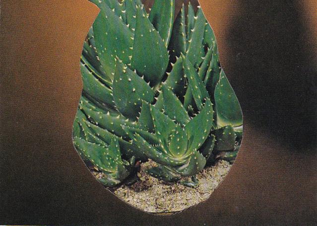 """Succulent 03/ 3""""x 4"""" /2015"""
