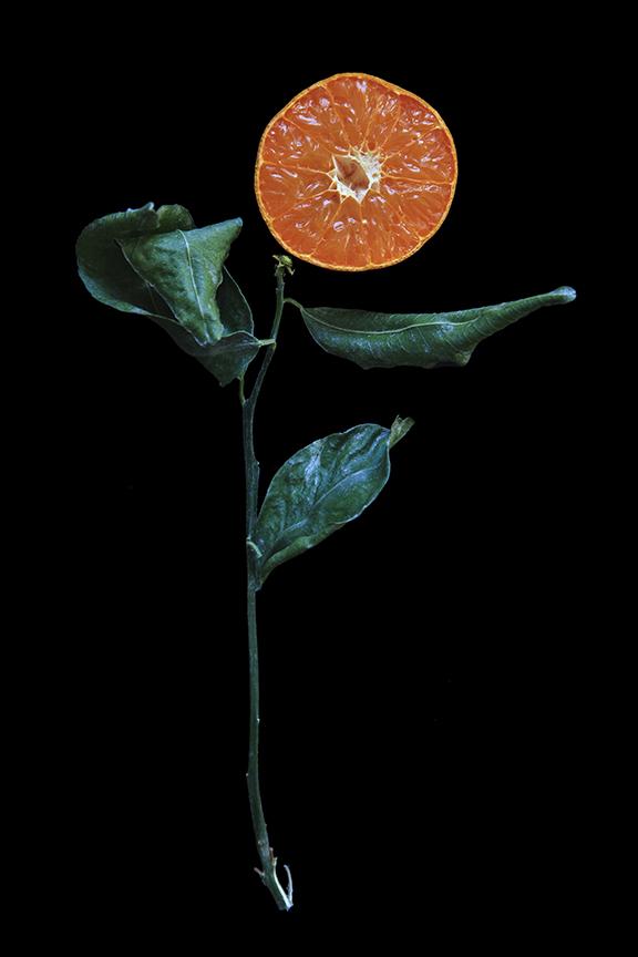 Murcott Mandarin, Day Three