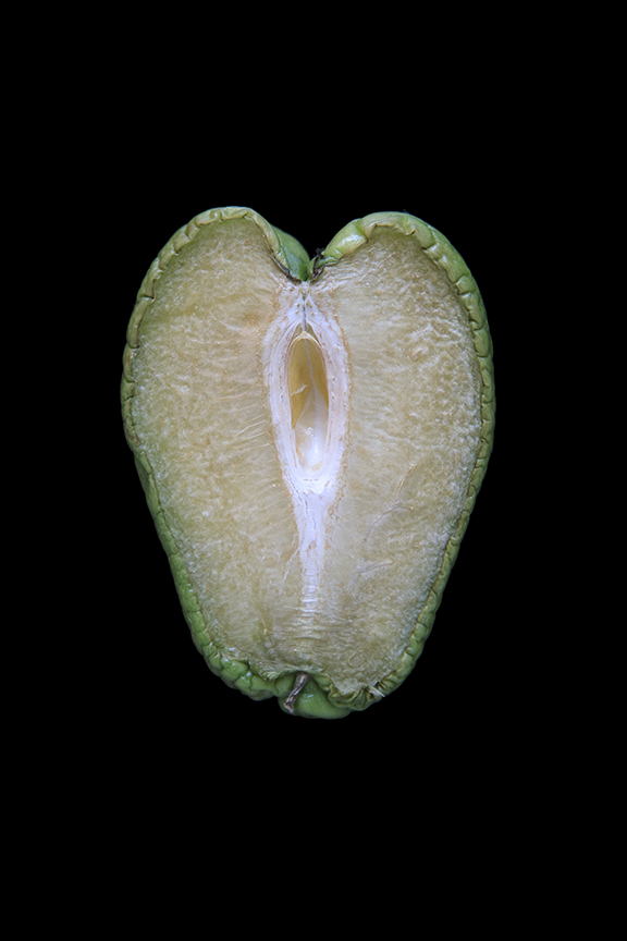 Chayote, Day Four
