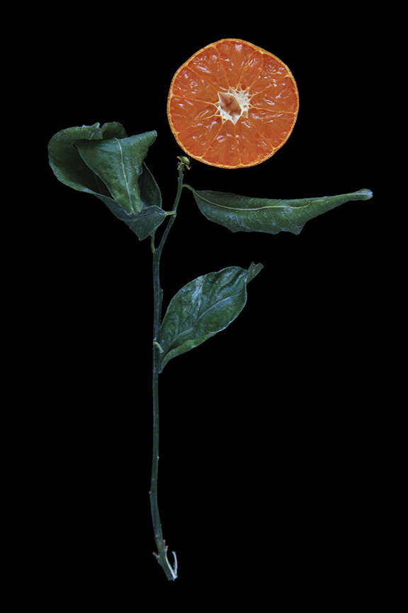 Murcott Mandarin, Day Four