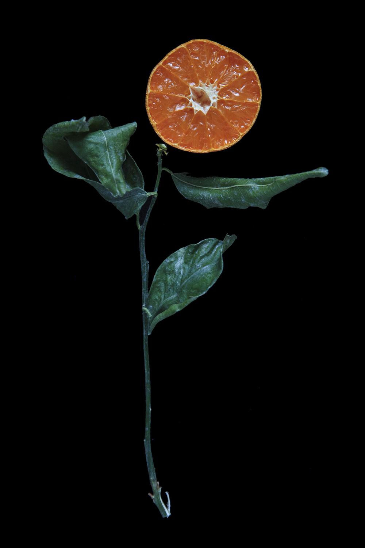 Murcott Mandarin, Day Seven