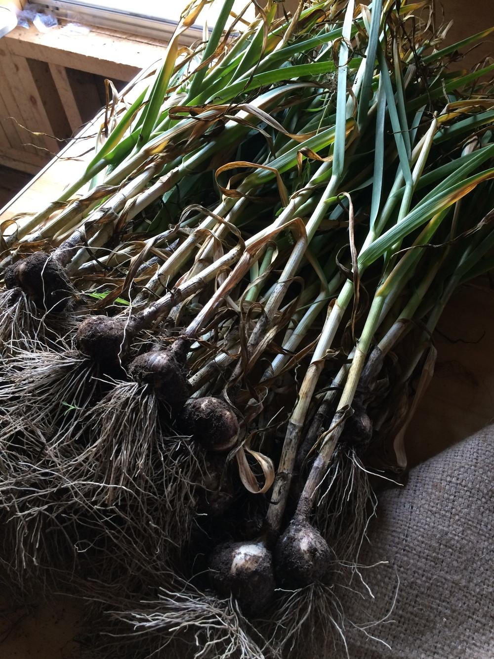 Cleaning Garlic