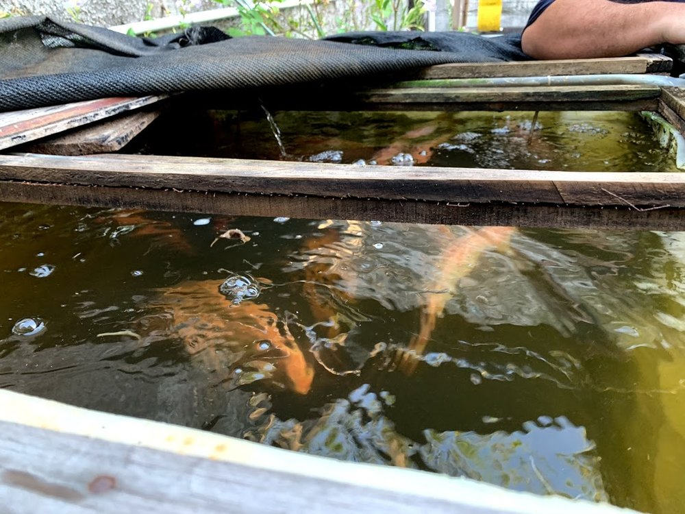 Here is a picture of a crop of strong, healthy fish grown in an aquaponic system that Jorge Amador built for a Pastor in La Ceiba Honduras.