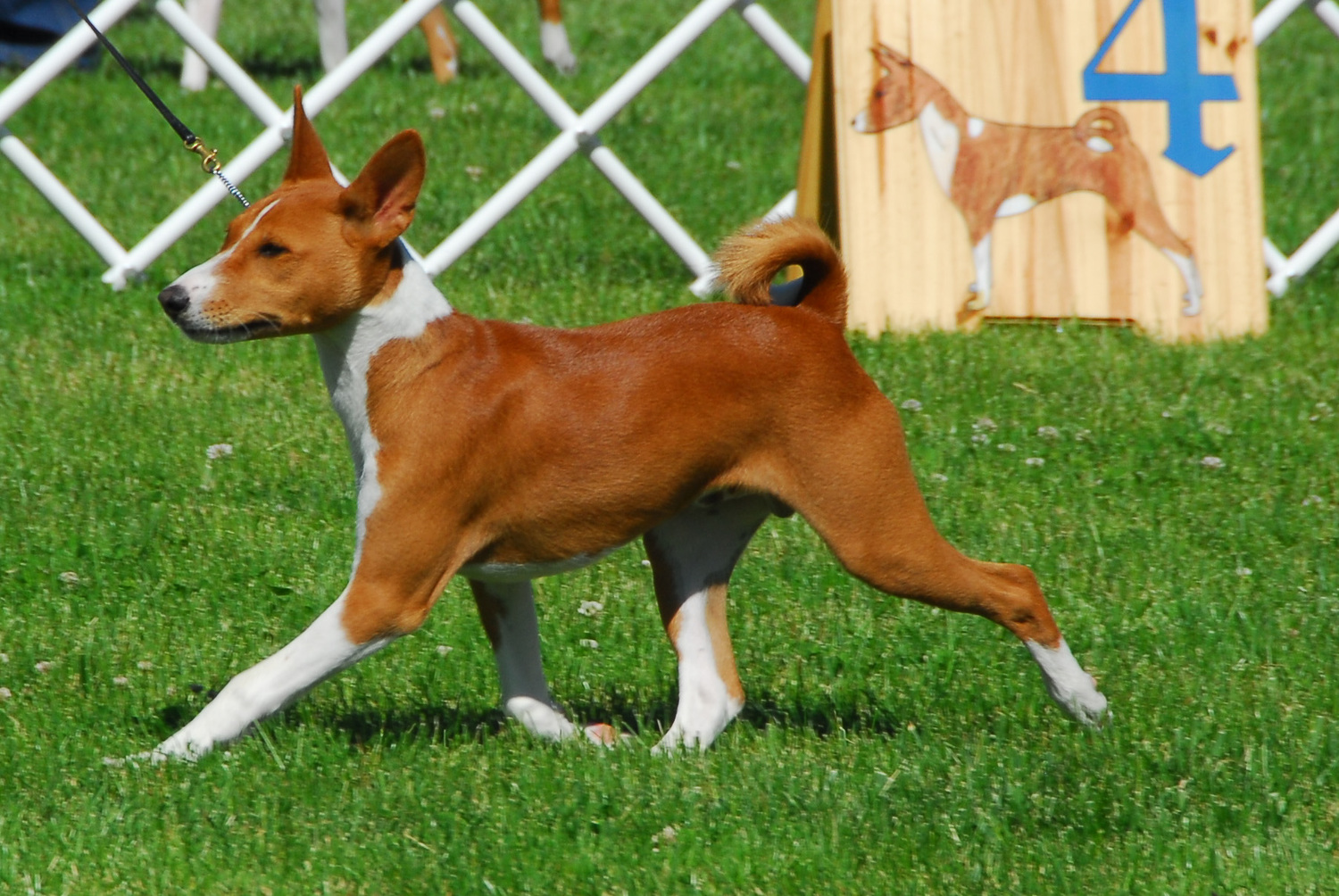 Our Dogs — Basenji Club of Northern California