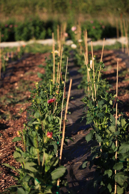 clare day flowers at red damsel farm, wedding florist and flower farm in victoria , farmer florist