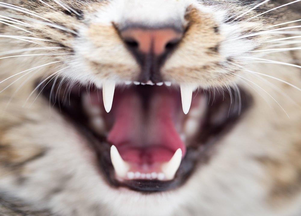 Full ServiceDental care - Feline Dentistry