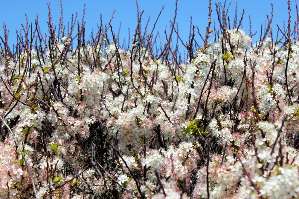Prunus marítima, Cape Cod