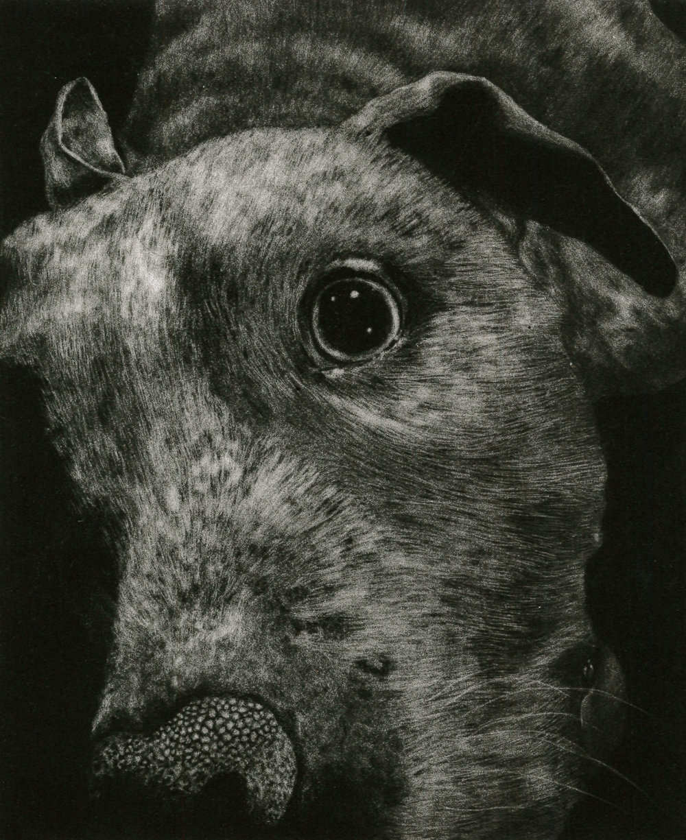 'Portrait of a Pit Bull', Mezzotint by Kirsten Flaherty