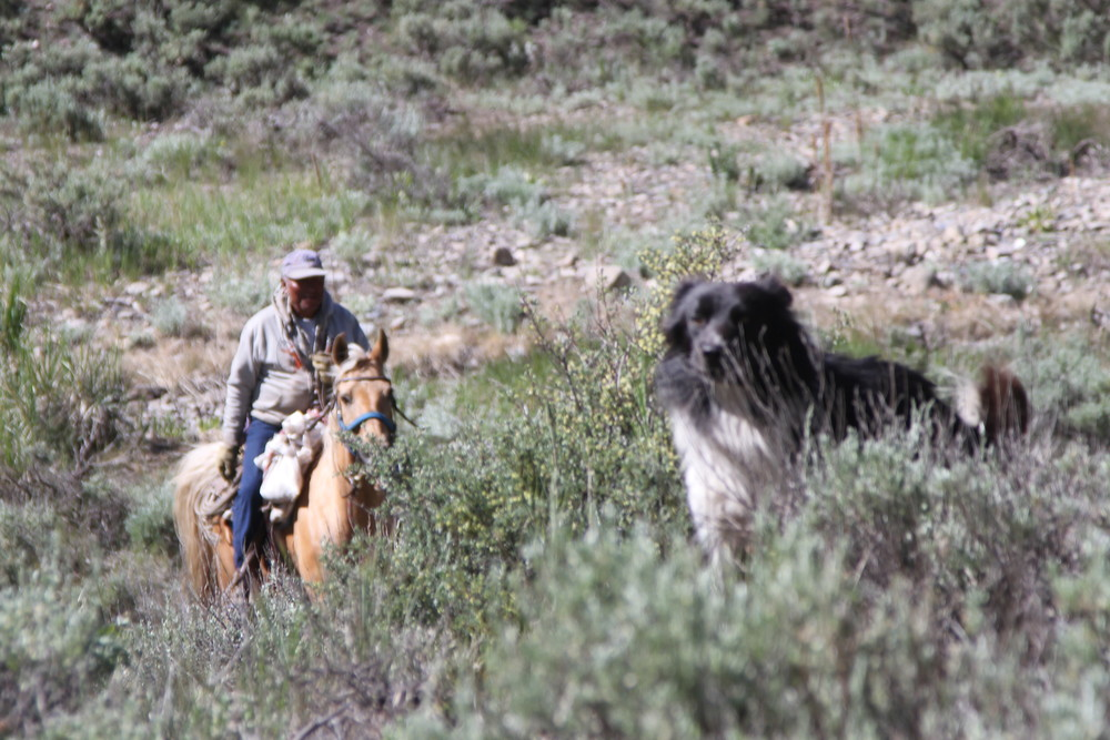 Range Rider Protect sheep in Idaho in Defenders of Wildlife Wood River  Non Lethal Project. Wolves of the Rockies is an all volunteer organization. We increase social tolerance by education, outreach programs & social media. We are based in Montana and operate in Wyoming & Idaho! We operate solely on the generosity of our supporters & followers. From the entire Wolves of the Rockies organization....Thank You!