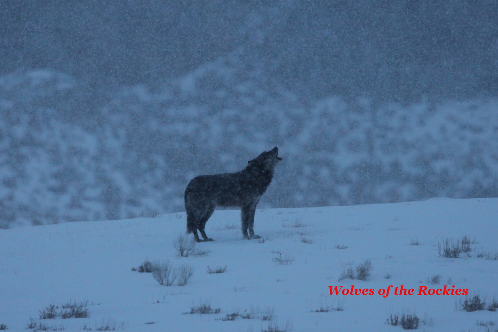 Big Blaze Howling on a Cold....Snowy Morning in the Last month of His Life