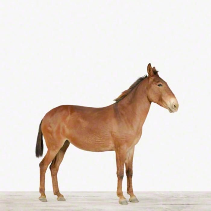 Mule_Hooved-Animal-Photos_The-Animal-Print-Shop_-Sharon-Montrose-.jpg