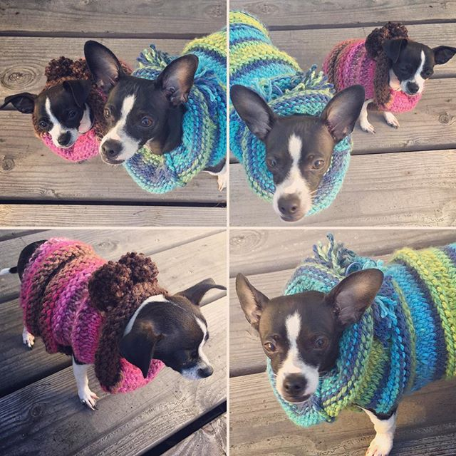 Nikolina and Tesla in their brand new slouchy sweaters. Knitting is my new passion. Who knew? They love them! ❤ (taking pics, not so much) #deerchihuahua #tinydogsofinstagram #cutepuppy #chuhuahua #petclothes #petfashion
