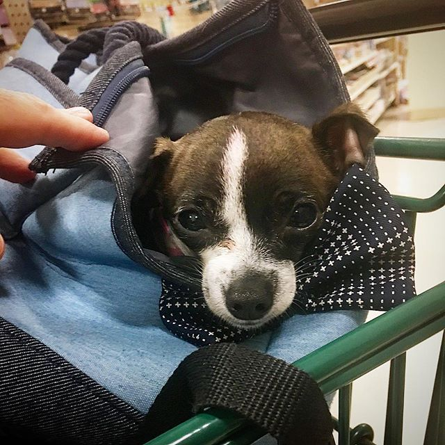 Shopping art supplies with my BFF again. Nowadays she just jumps in the bag on her own and we are off to the races. #deerheadchihuahua #tinydogs #cutestdog #bff #artassistant #lovemydogs