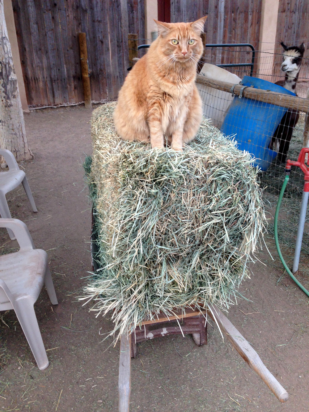 "Jaspurr  ""king of the hay bale"""