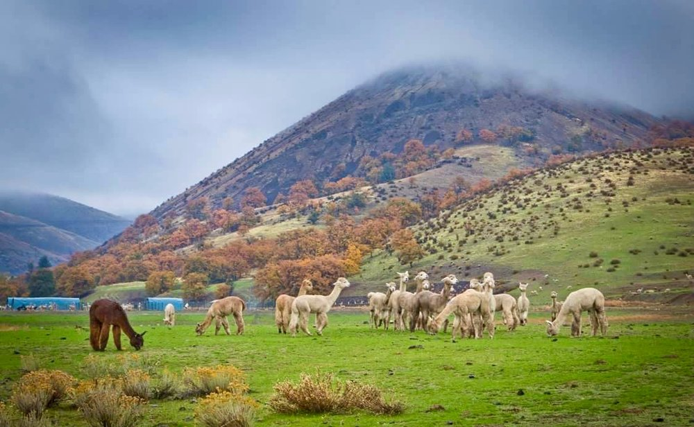 Green hills alpaca shot.jpg