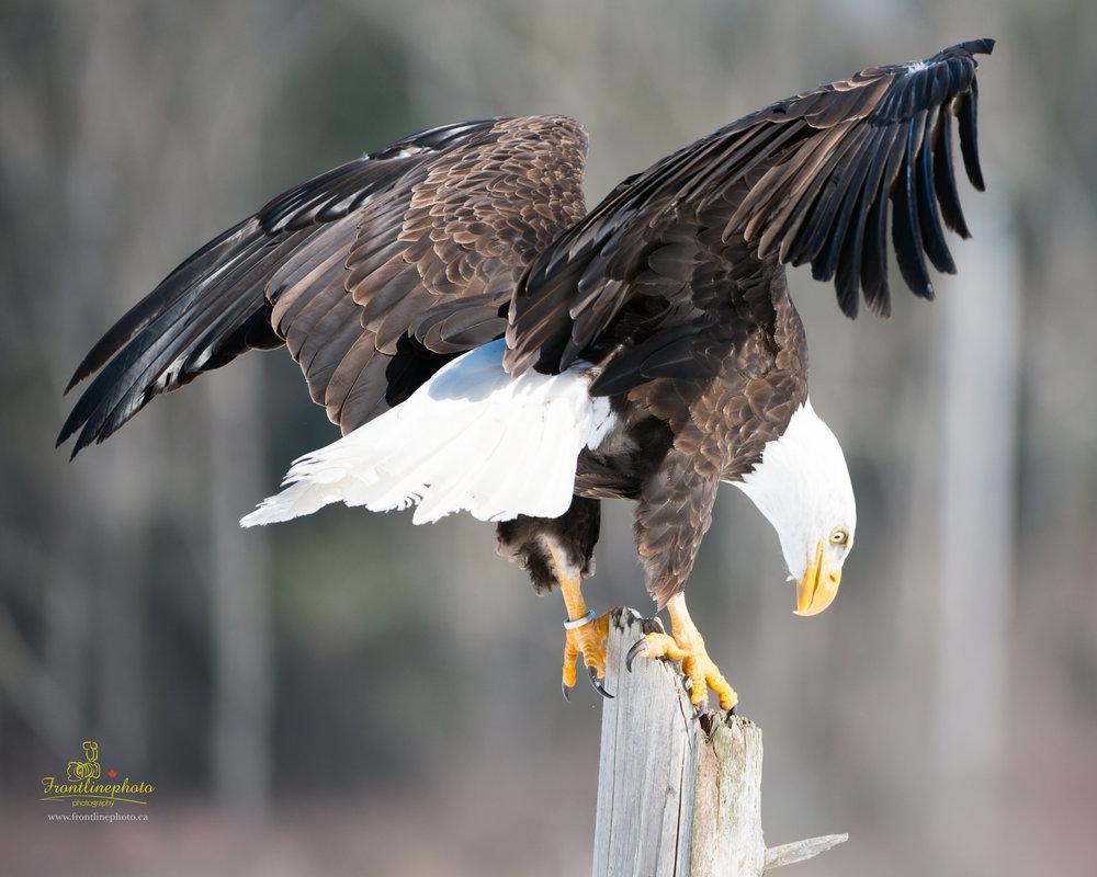 Canadian Raptors-1008.jpg