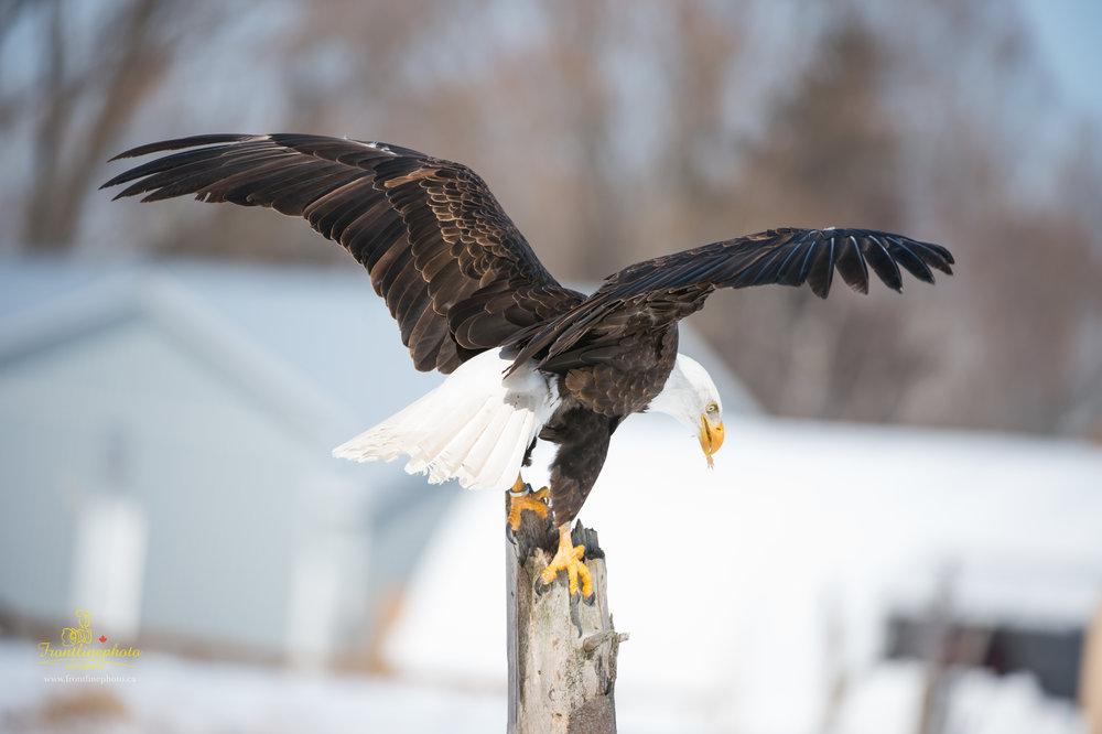 Canadian Raptors-1011.jpg