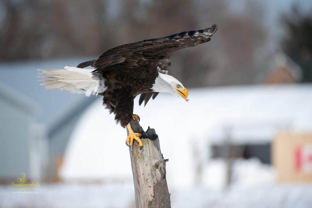 Canadian Raptors-1013.jpg