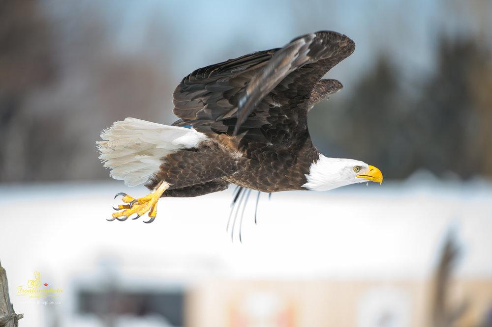 Canadian Raptors-1022.jpg
