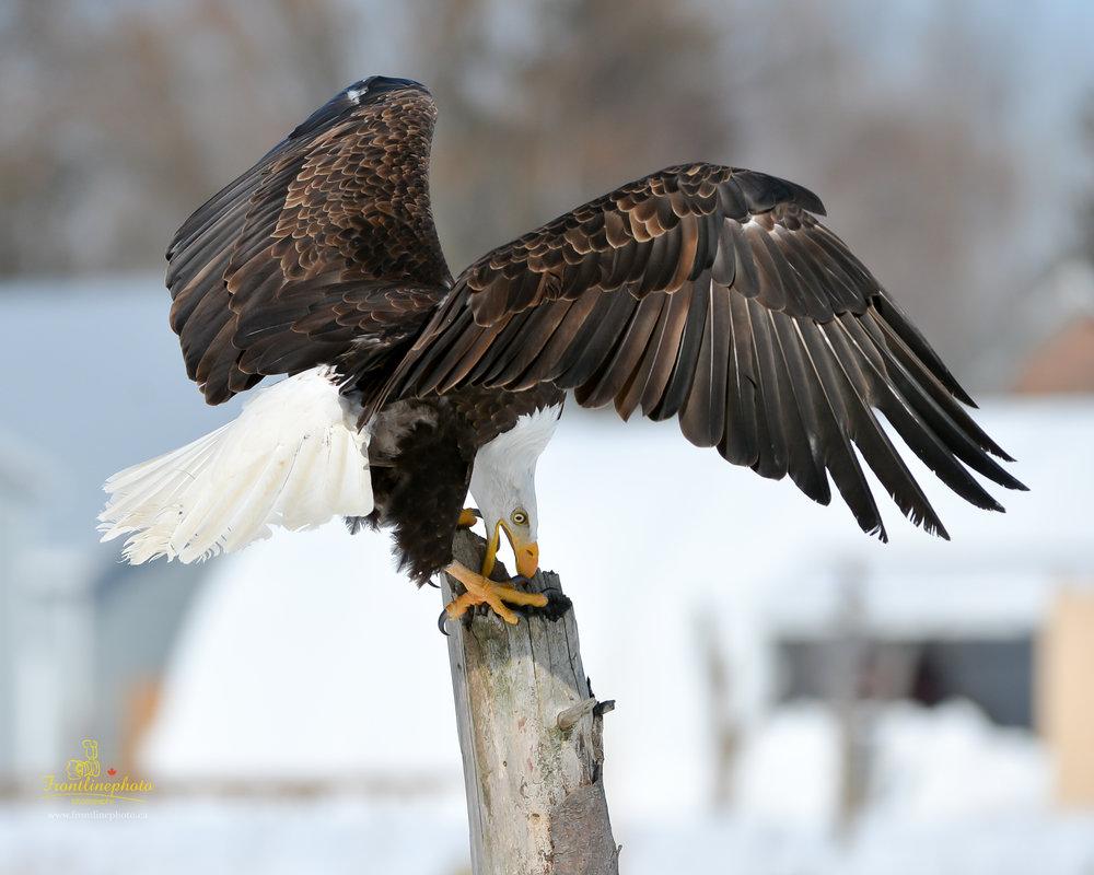 Canadian Raptors-1026.jpg