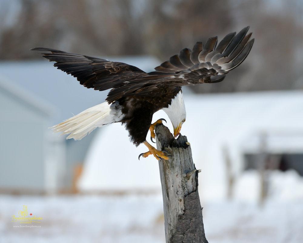 Canadian Raptors-1027.jpg