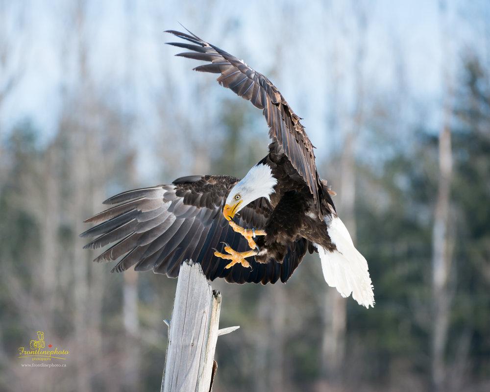Canadian Raptors-1029.jpg