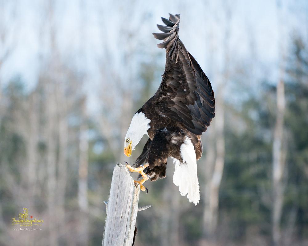 Canadian Raptors-1030.jpg