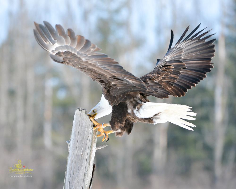 Canadian Raptors-1033.jpg