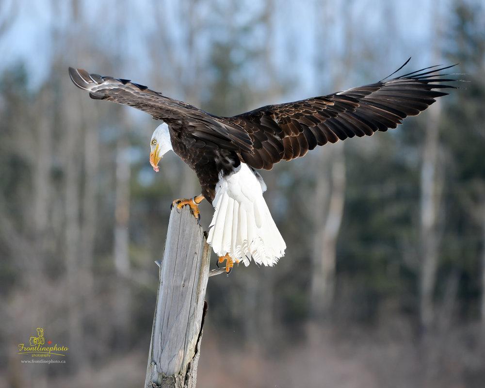 Canadian Raptors-1034.jpg